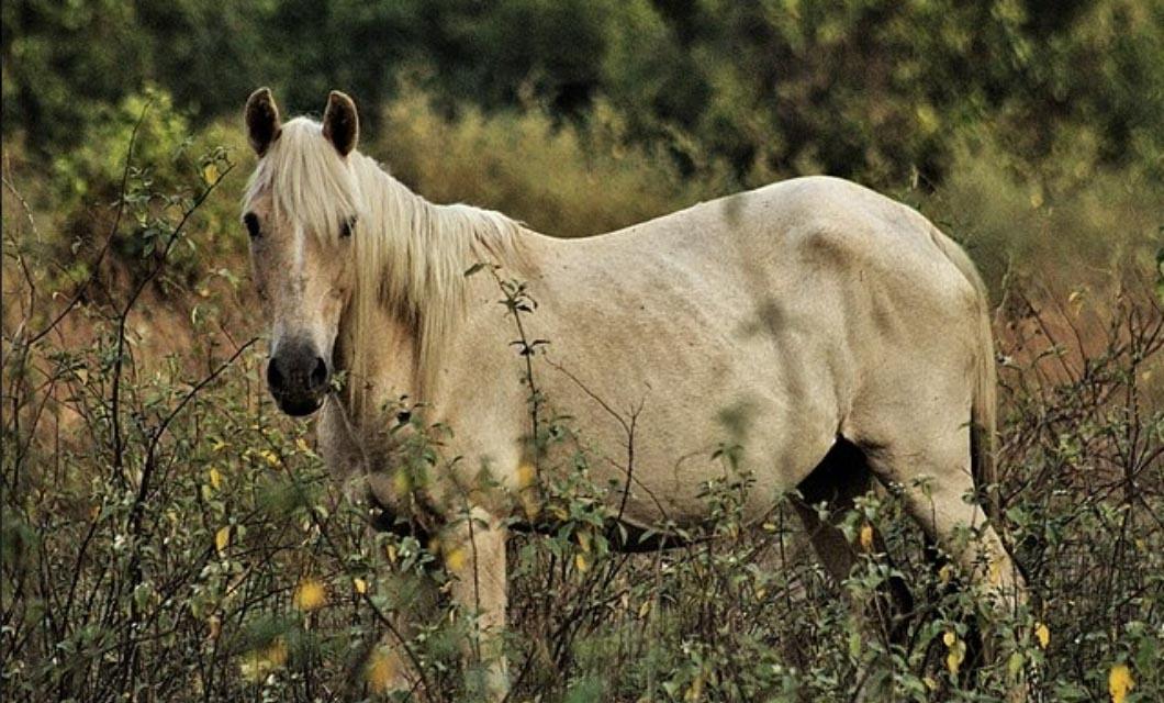 Criollo_polo_horses_and_ponies_diets_La_Pol