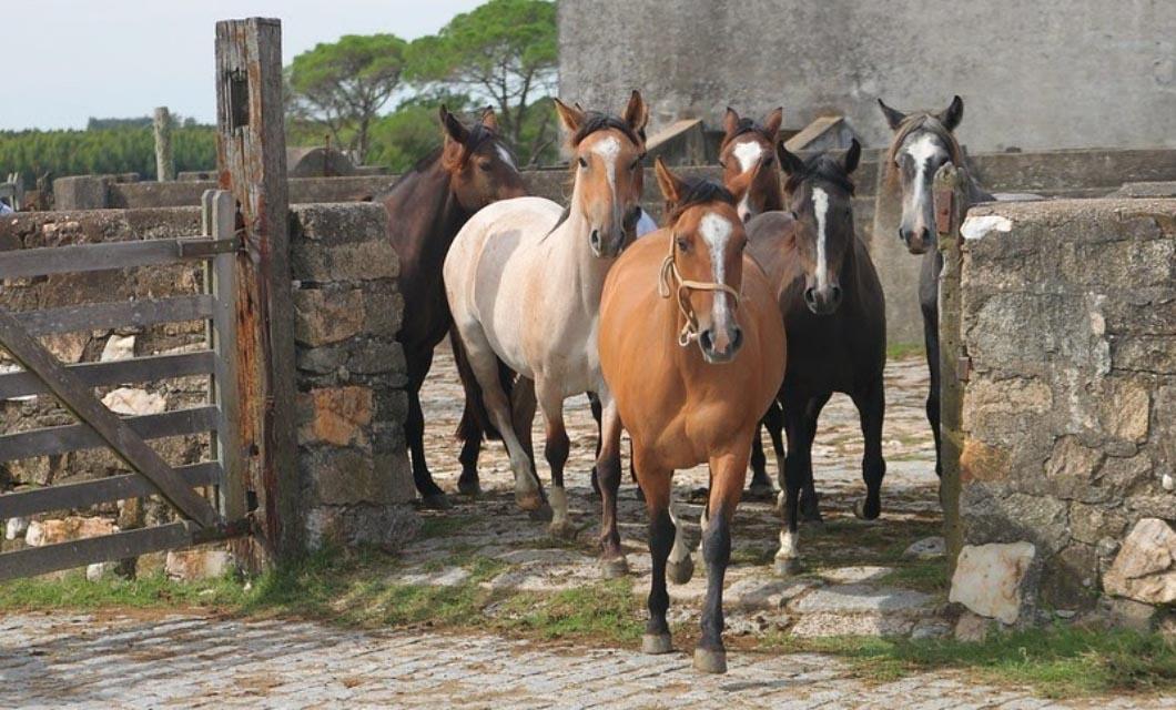 Horses_Crilollo_in_the_world_La_Polo