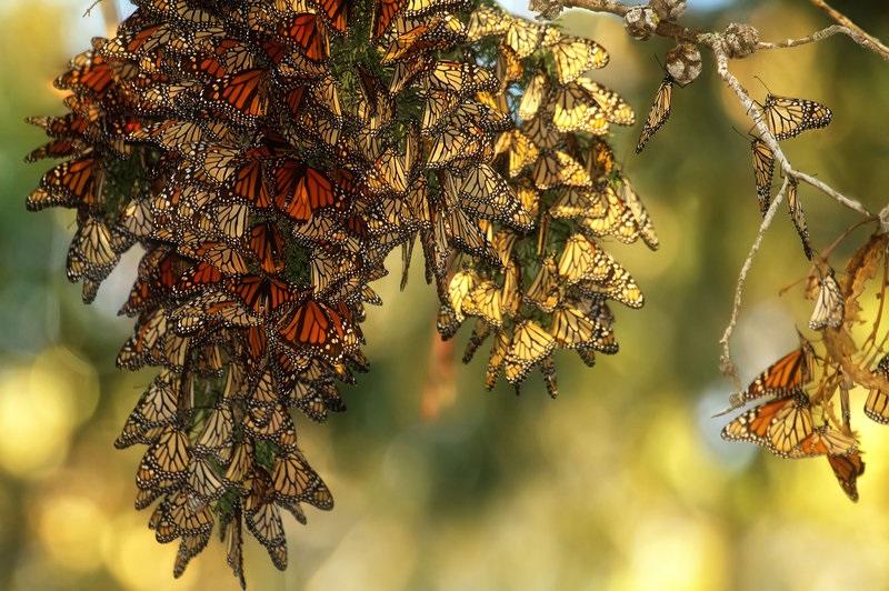 Monarch Butterfly Sanctuaries-