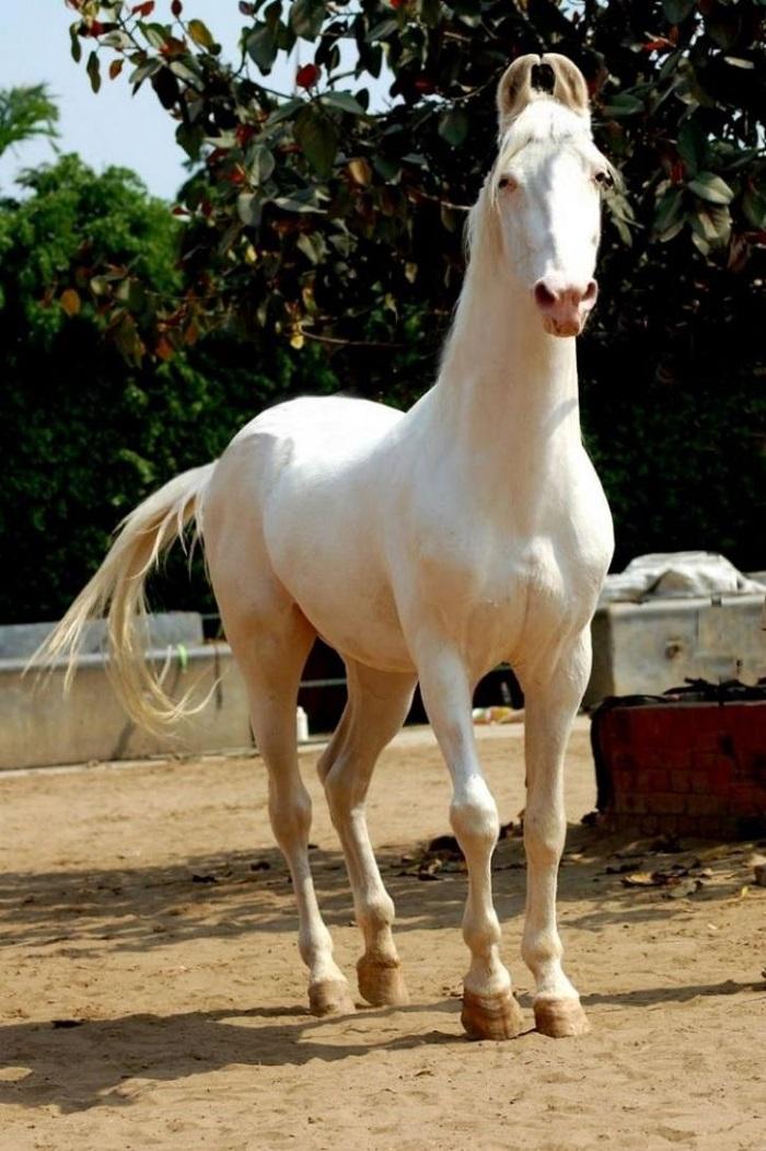 Jaipur Polo Pony The Marwari Breed La Polo