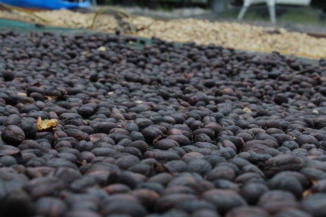 Coffee_Tanah_Datar_lapolo