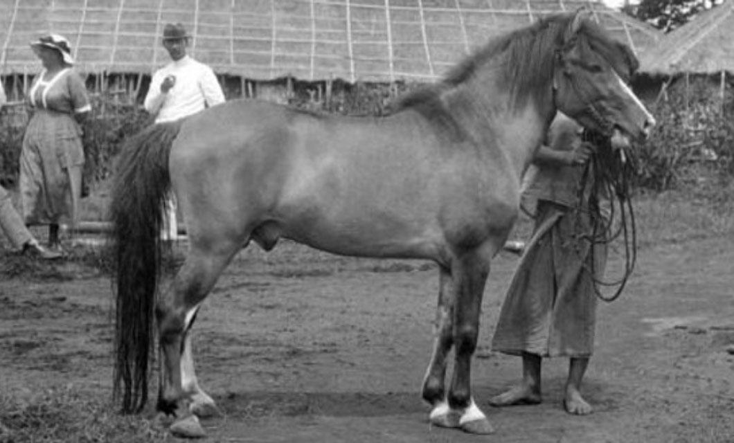 batak-polo-pony-in-indonesia-lapolo