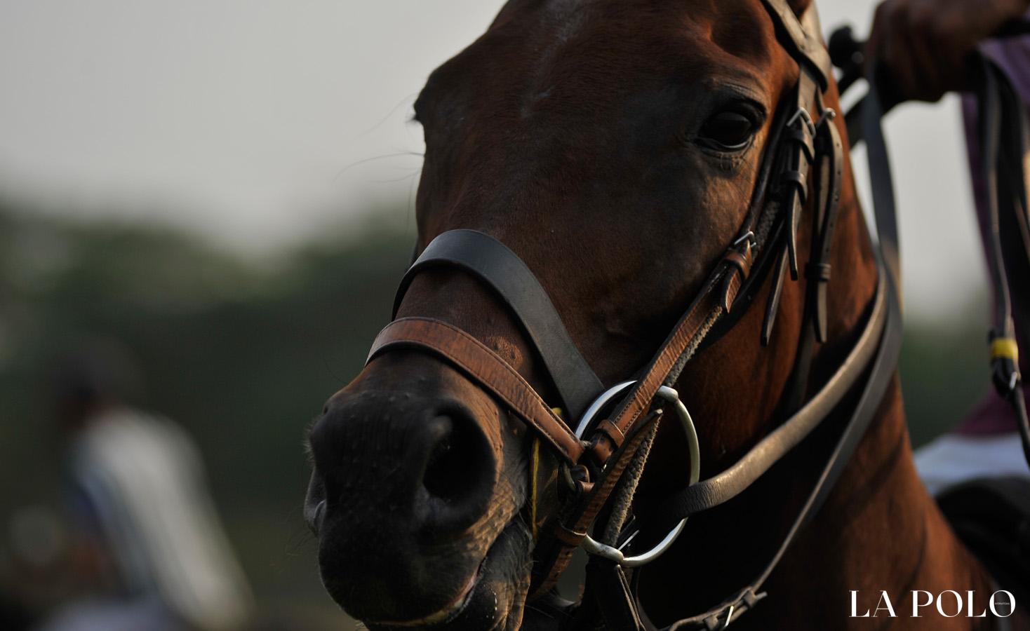 polo horse , polo pony