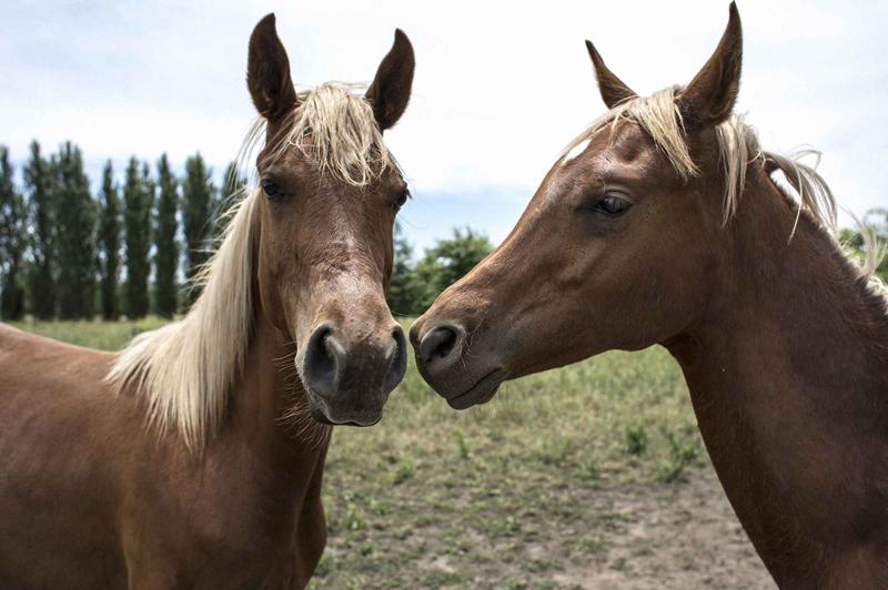 ZANISKARI HORSE,ARABIAN PONY,MANIPURI PONY,KATHIAWARI HORSE,SPITI HORSE,BHUTIA HORSE,MARWARI HORSE,CRIOLLO POLO PONY,The Quarters ,THOROUGHBRED-QUARTER POLO PONY,THOROUGHBRED POLO PONY,ARGENTINE POLO PONY,best horse breeds that can be used as polo ponies.,polo pony,Polo Ponies