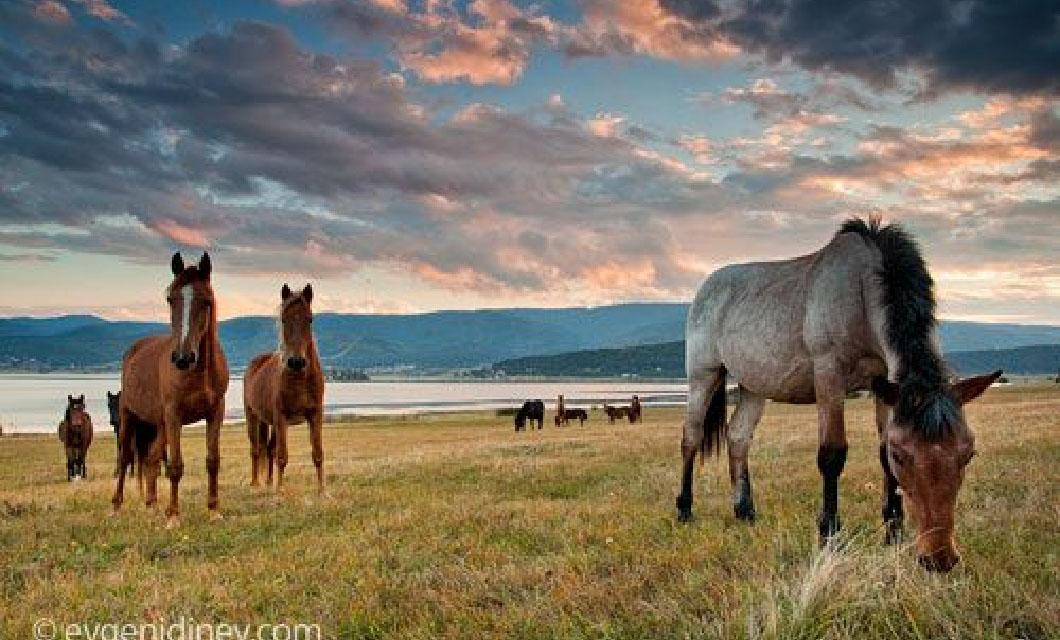 polo-pony-in-indonesia-batak-pony-lapolo