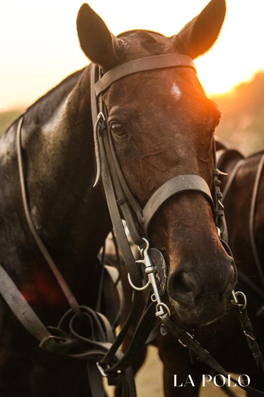 polo ponies , polo care , polo pony